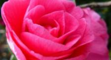 Pink Rose to comfort those in need of the bereavement forum.