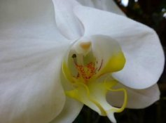 white yellow orchid as comfort for birth mother grief