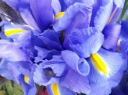 Blue irises.  A Consolation for the news of a diagnosis of Alzheimer's disease