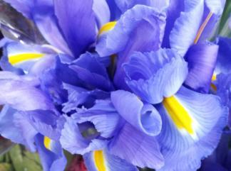 blue yellow irises