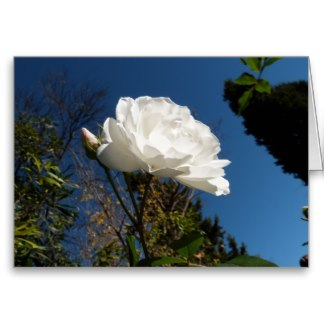 Blank Card with White Rose