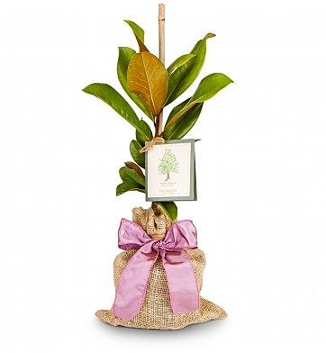 Memorial Magnolia Tree Gift