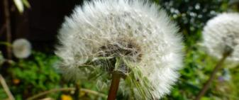 Dandelion clock - to represent the fragility of life.