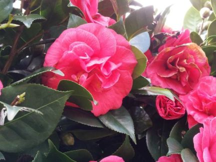 Uplifting Pink Camelia Flowers to Comfort Grief for Child Loss