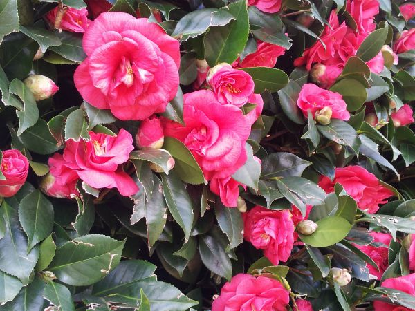 Camelia Flowers for Celebration of Life of Lost Daughter