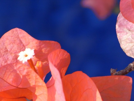 Bougainvillea on a blue background.  A calming picture to help teenagers cope with grief