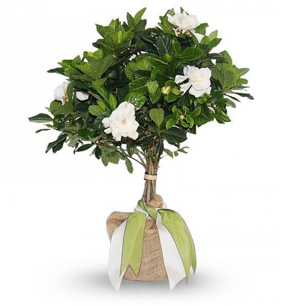 White Gardenia Tree