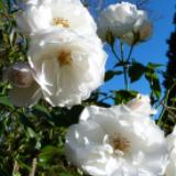 White roses to express grief