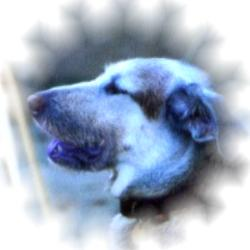 Tanya our dear departed husky cross dog