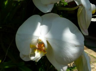 A beautiful white orchid to comfort those dealing with death