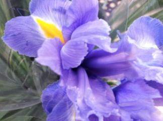 bunch of blue irises