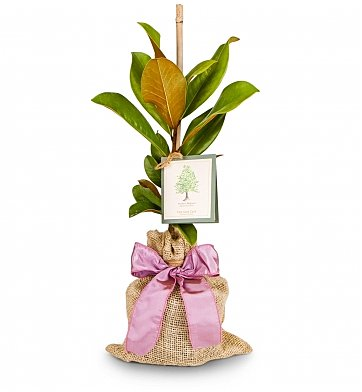Memorial Tree for a loved one - Magnolia