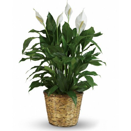 Order Peace Lily Here