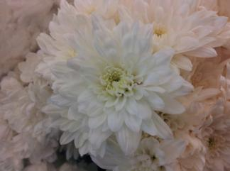White Chrysanthemum for Can you Die of a Broken Heart?